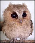 Baby Scops Owl III