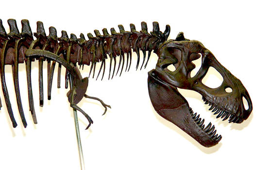 Tyrannosaurus Rex / T-rex Skeleton Sculpture Head