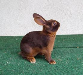 tan stock - choc 01 by rabbit-stock