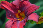 Red Day Lilly by Ahopper1996