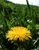 IMG 13 - dandelion by TwiCeArts