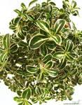 IMG 29 - bonsai detail
