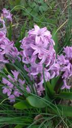 Splendid Cornelia  Hyacinth by axiom463