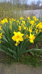 Ceylon Daffodil by axiom463