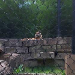 Sumatran Tiger by axiom463