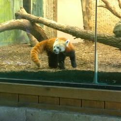 Red Panda by axiom463