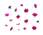Flowers-Amaranta.G