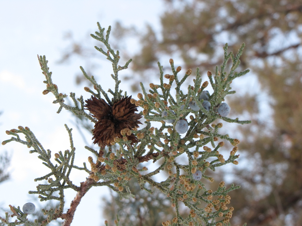Juniper tree in winter by goldrc4