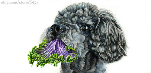 Caniche avec chou frise violet
