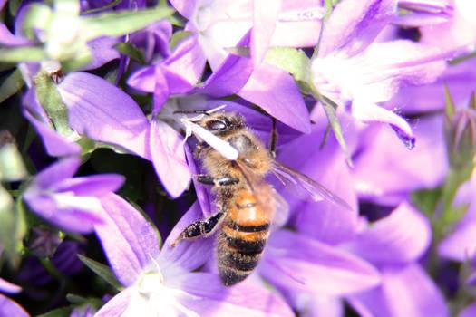 Furry Bee