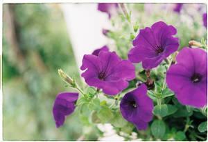 Asagao flowers