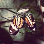 borboletas gemeas
