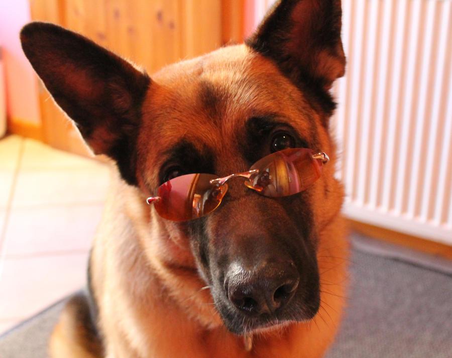 Resultado de imagen para german shepherd sunglasses
