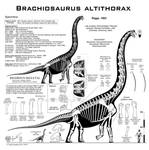 Brachiosaurus altithorax hi-fi skeletal