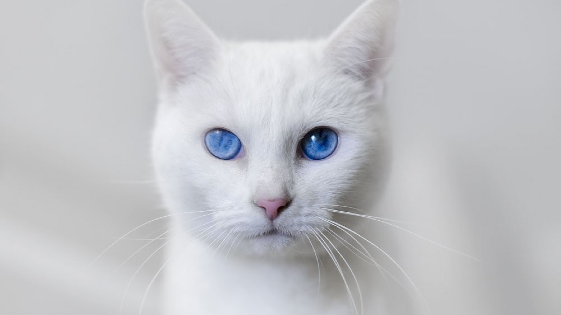 Mother white cat and kitten on blue background photo WP32491   White Cats Blue Background