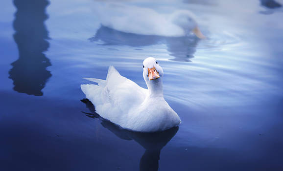 Curious White Duck
