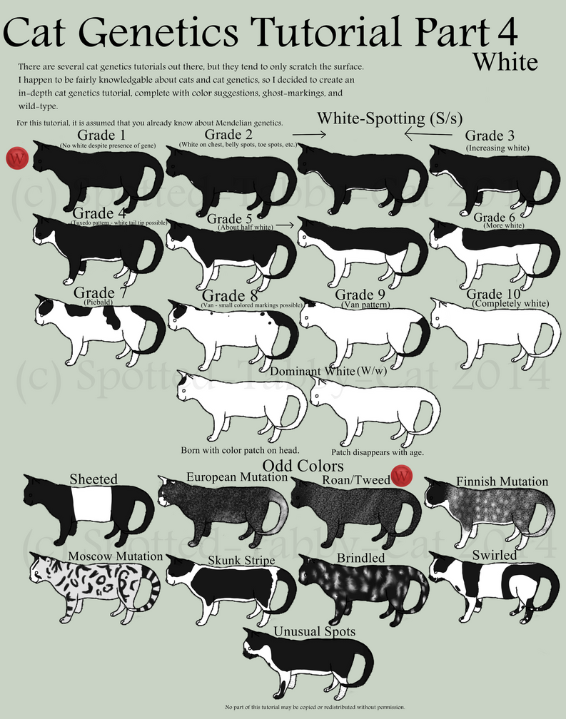 Cat Genetics Tutorial Part 4 White By Spotted Tabby Cat