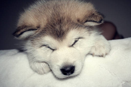 lovelovelove(alaskan malamute)