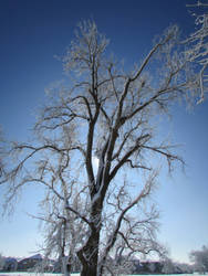 Cottonwood In Winter. by LanestraFlameheart
