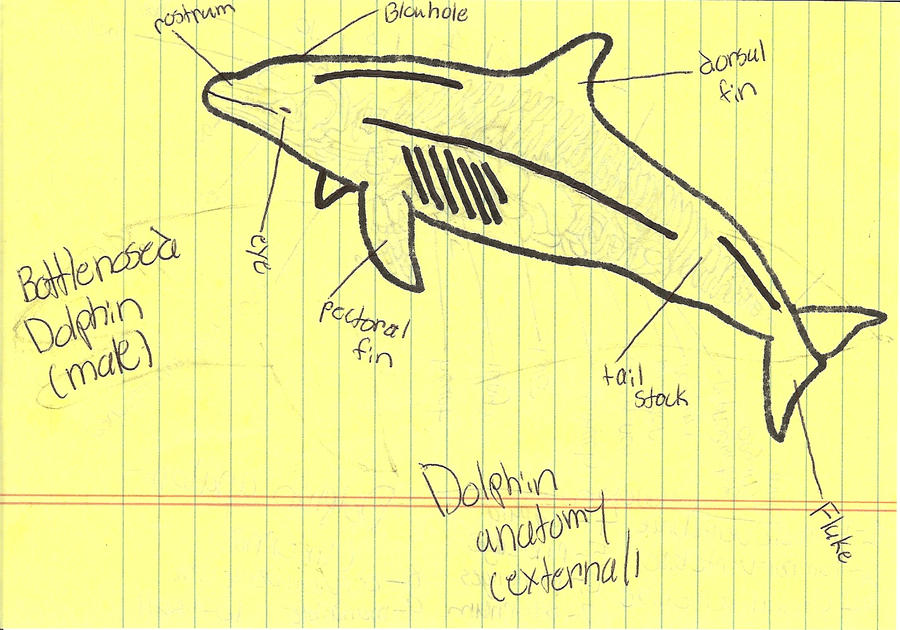 Dolphin Anatomy external by seatosea on DeviantArt