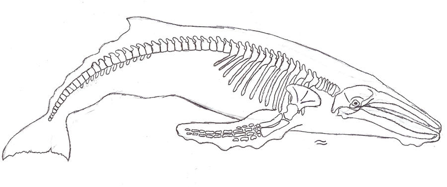 Humpback whale skeleton by seatoseaHumpback Whale Skeleton Diagram