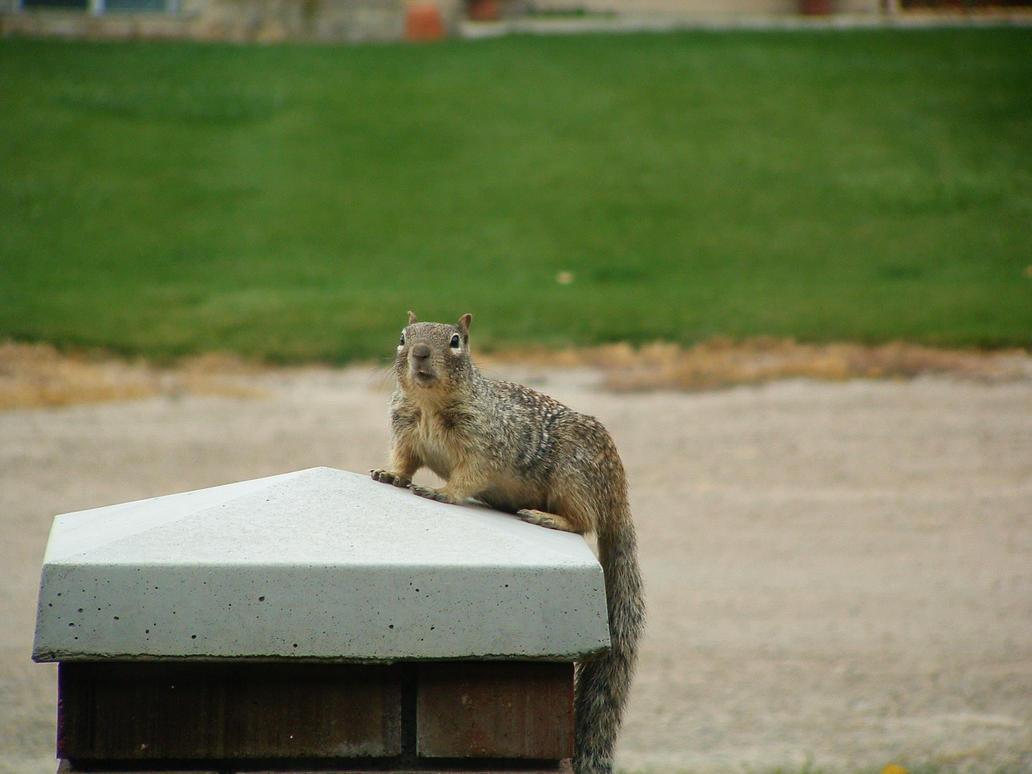 Squirrel by ceaca