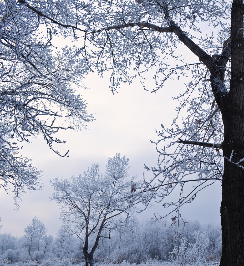 Trees in the Snow5