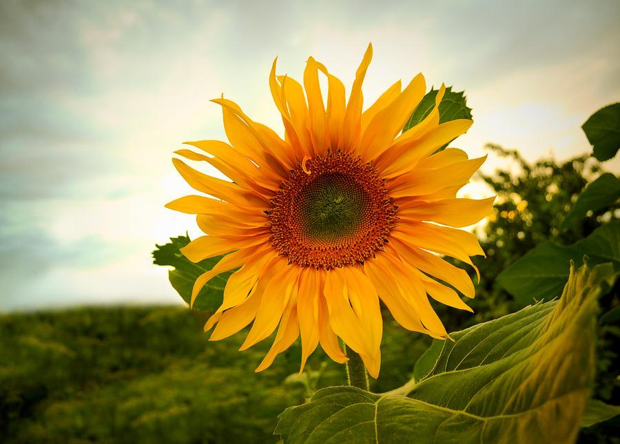 Sunflower by Tumana-stock