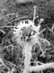 A dried, icy flower
