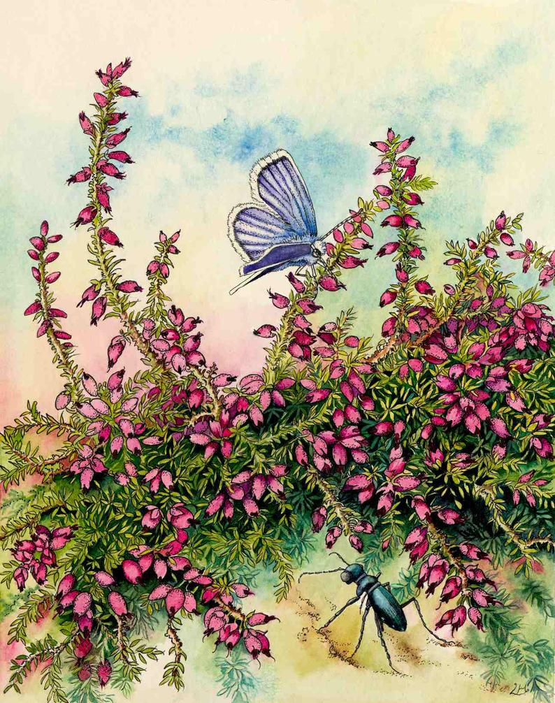 Heather, carabid beetle, silver-studded blue by LynneHendersonArt