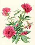 Peony (Paeonia officinalis Rosea Plena)