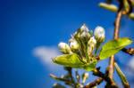 Pear blossom.