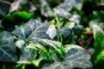 Snowdrop by carinaklinger