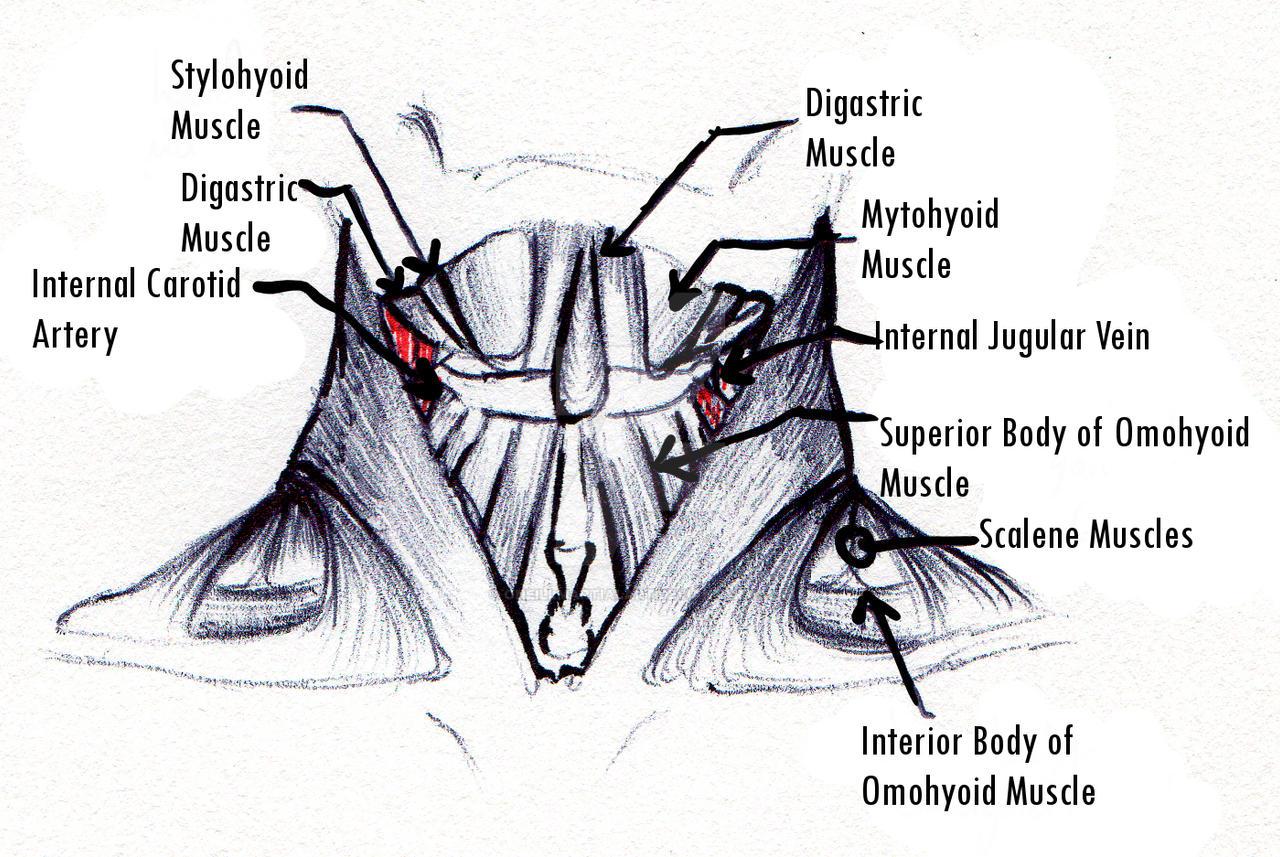 Throat anatomy. by ONeillMartialArt on DeviantArt