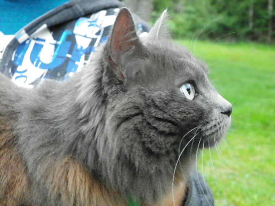fluffy light gray cat - photo #16
