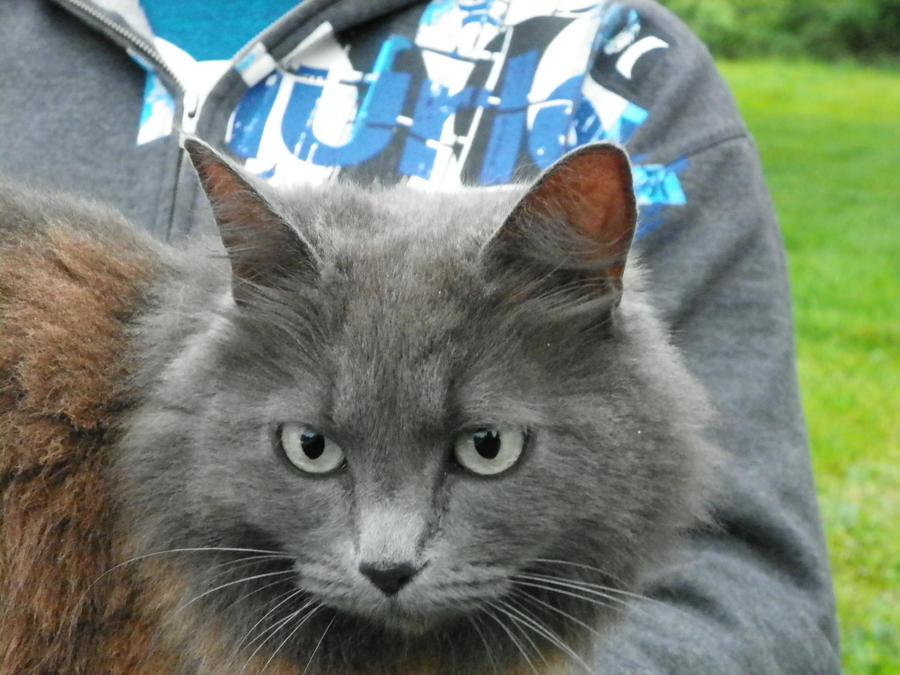 Fluffy grey cat