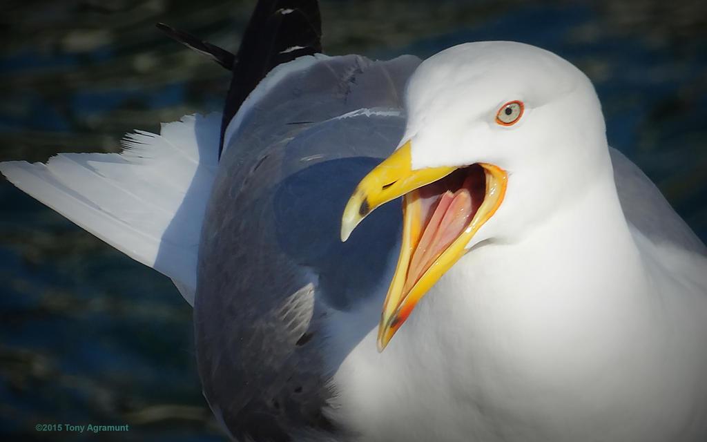 Singer Gull