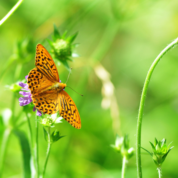 Orange butterfly by dbroglin