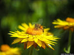 Pollinating bee by meechirumaeda