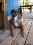 Mongrel dog sits on a wooden patio floor by meechirumaeda