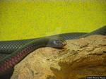 Redbelly snake crawls on a rock by meechirumaeda