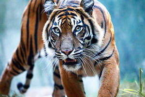 Sumatran Tiger i by weaverglenn