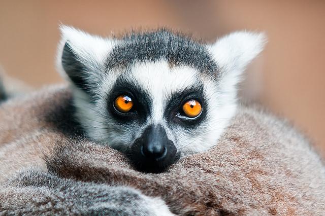 Ring-tailed Lemur by weaverglenn