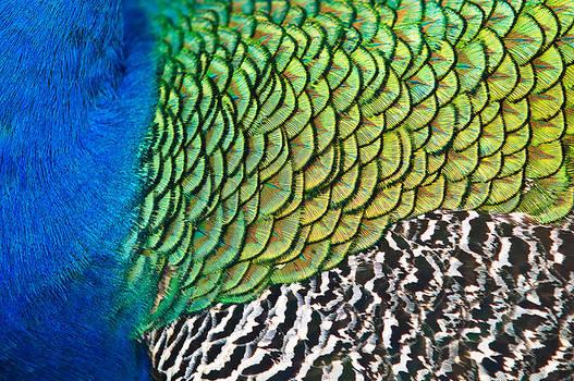 Macro Peacock