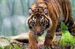 Sumatran Tiger iii