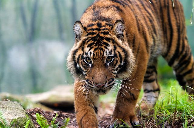 Sumatran Tiger iii by weaverglenn