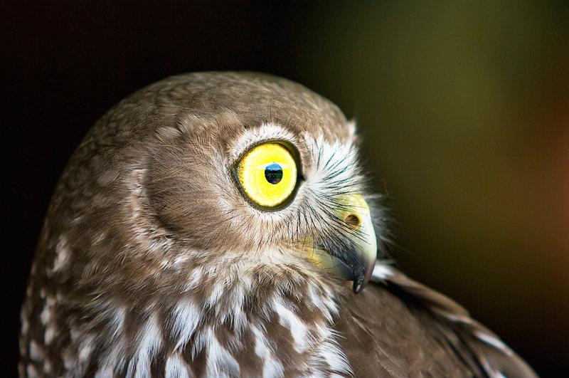 Barking Owl i by weaverglenn