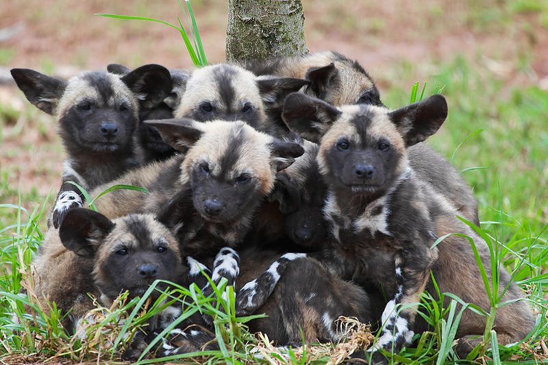 African Painted Dogs - pups i by weaverglenn