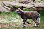 African Painted Dogs iii - pup