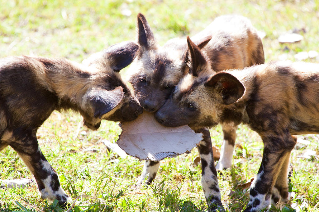 African Painted Dogs -pups iii by weaverglenn